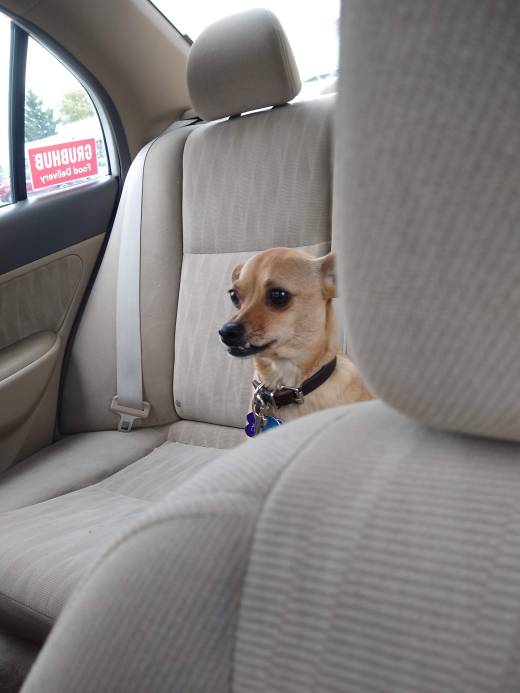 Good side gig for couples, plus dog. Chihuahua sits in back seat of car