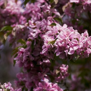 It's lilac season in Ottawa. Kitchissippi has its fair share of the fragrant flowers. Photo by Ellen Bond.