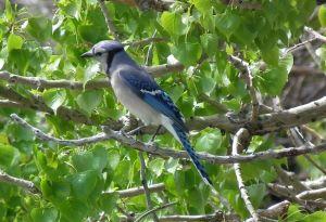 Eastern Blue Jay  photo by Kurt Fristrup