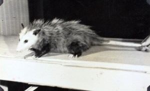 It's hard to love an animal that looks like a rat having a bad hair day.