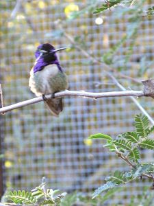 A Costa's hummingbird, fuzzy photo by Kit Dunsmore