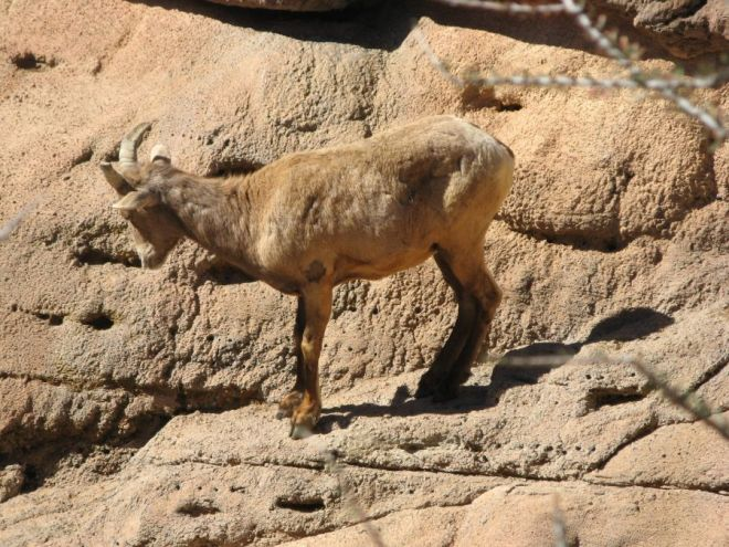 Bighorn sheep, photo by Kit Dunsmore