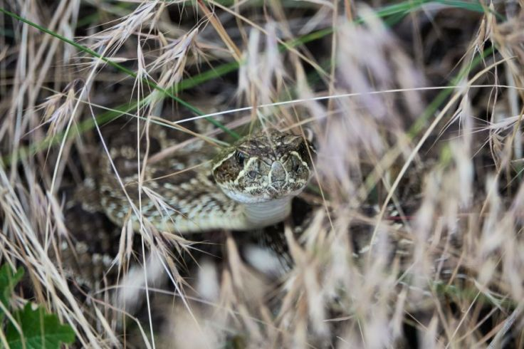 Coiled rattlesnake half-hidden by grass; photo by Kurt Fristrup