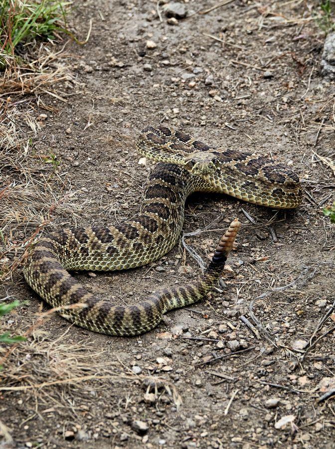 Rattlesnake ready to strike; photo by Kurt Fristrup