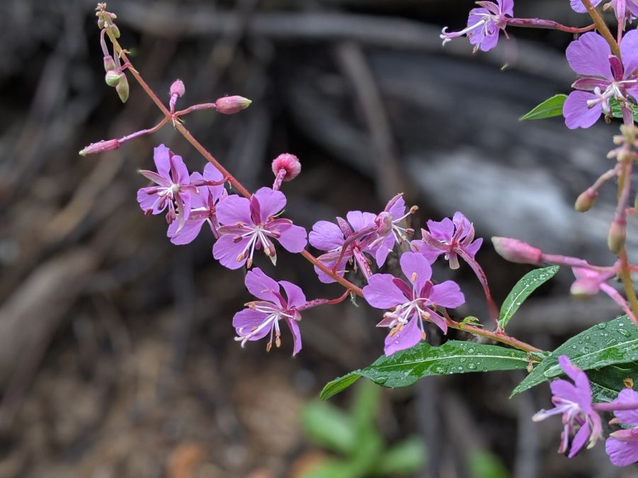 Spray of pink wildflowers. Fireweed (Chamerion augustifolium). Photo by Kit Dunsmore