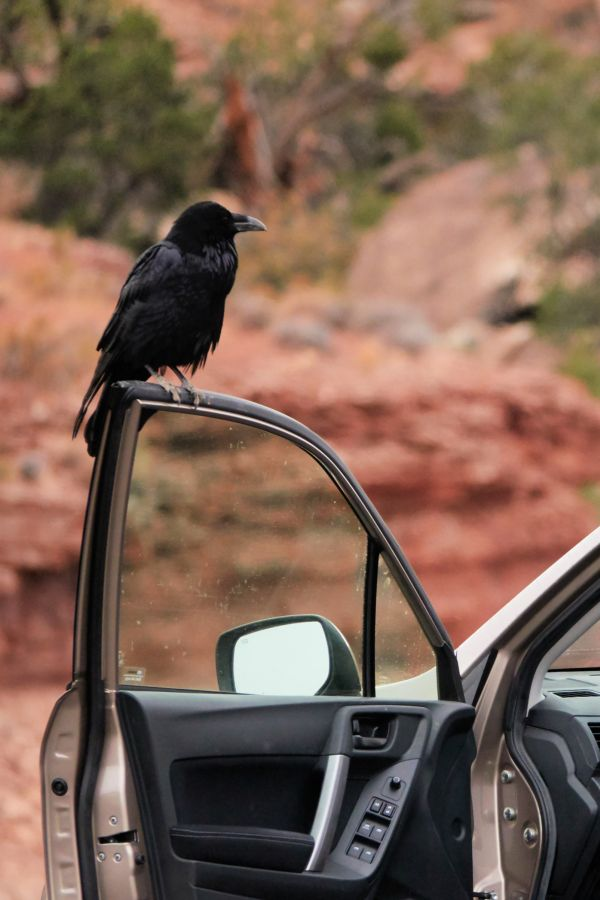 Common raven sitting on an open car door. Photo by Kurt Fristrup
