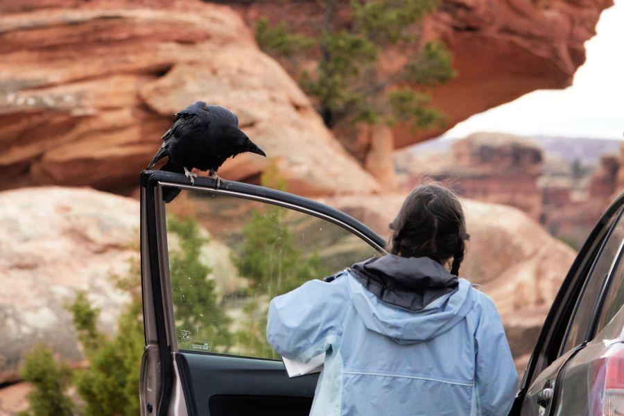 Common Raven perched on open car door. Woman in foreground. Photo by Kurt Fristrup