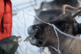 Le renne sono ghiotte di muschi e licheni