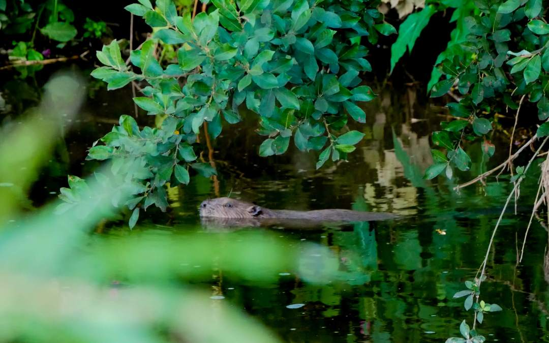 Beaver Spotting on the River Otter: Celebrating the Reintroduction of these Magnificent Animals