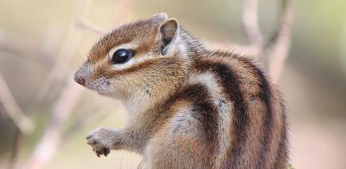 A chipmunk, closeup shot of its upper half as it sits