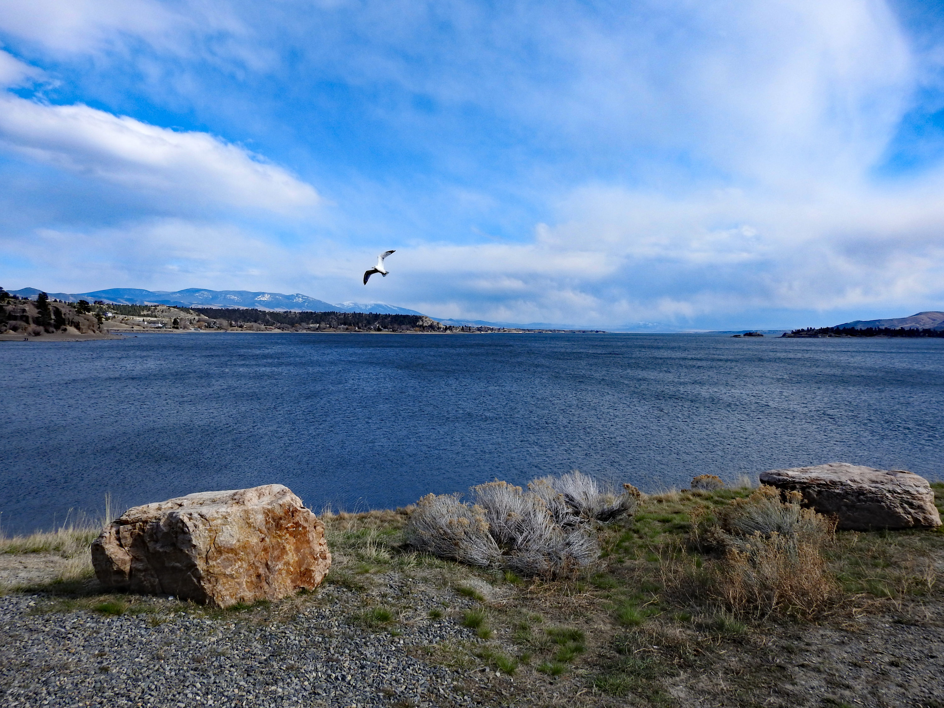 A water bird flies over the blue waters of Canyon Ferry Reservoir in Montana, seen from the rocky and grassy shore. The blue sky is partly cloudy.