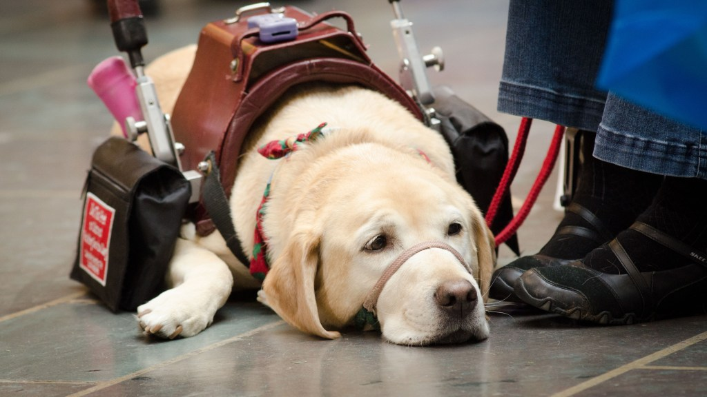 A helper dog in a working dog vest rests for a moment on a polished floor.