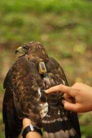 Hawk Mountain Sanctuary Broad-winged Hawk Project. Photo credit: Zach Bordner