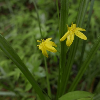 Yellow Star Grass, Rich Zaino