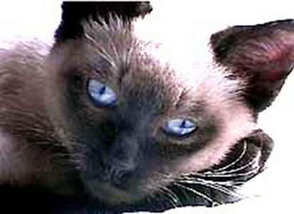 Kittentanz Cattery Traditional Siamese And Tonkinese