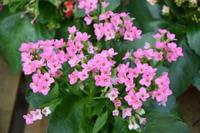 kalanchoe poisonous for plants
