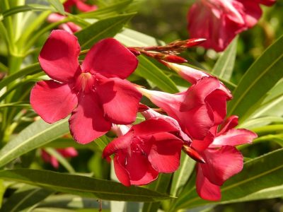 Oleander toxic for cats