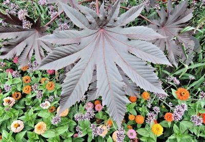 red-castor-bean-leaf poisonous plant for cats