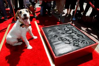 """The dog Uggie, featured in the film """"The Artist"""", is pictured after leaving his paw prints in cement in the forecourt of the Grauman's Chinese theatre in Hollywood, California June 25, 2012. REUTERS/Mario Anzuoni (UNITED STATES - Tags: ENTERTAINMENT ANIMALS TPX IMAGES OF THE DAY) - RTR345D7"""