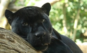 Endangered Species Day - Black Panther