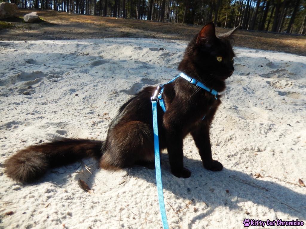 Kylo Ren at Lake Tobosofkee - Cat on Leash