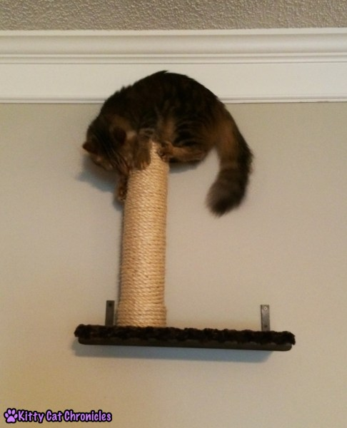 Caster cat on top of shelf scratching post