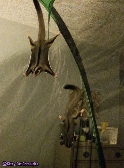 sugar gliders in tent