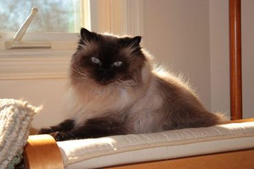 Top 5 Favorite Feline Actors: Tiki, as Sassy from Homeward Bound