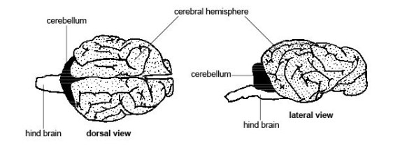 Diagram of a Cat Brain