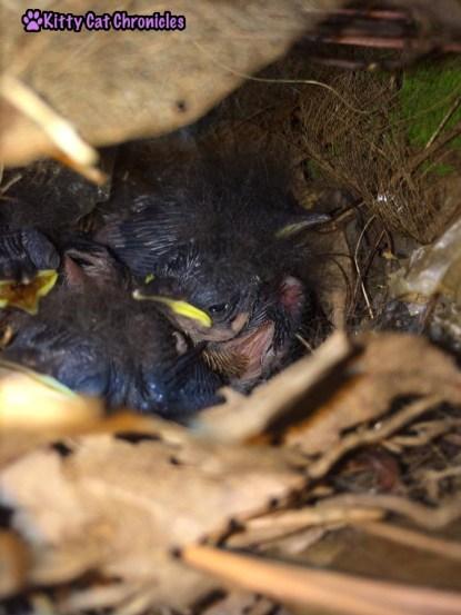 The Carolina Wrens have Finally Fledged - carolina wrens, baby birds