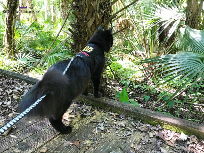 Hiking in the Welaka State Forest with Kylo Ren - black cat on a hike