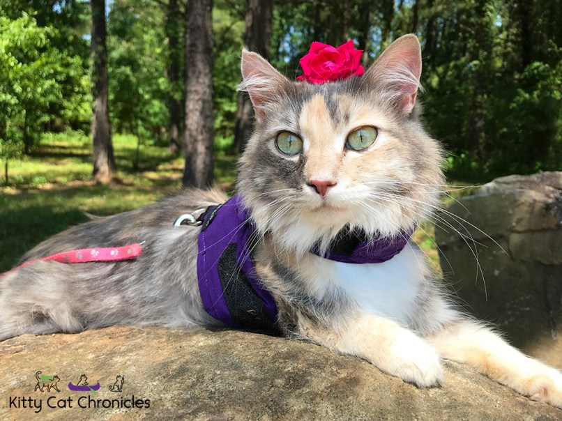 Sophie's Birthday Adventures - Brown's Mount & Amerson River Park - Sophie the cat with cerebellar hypoplasia, flower on head