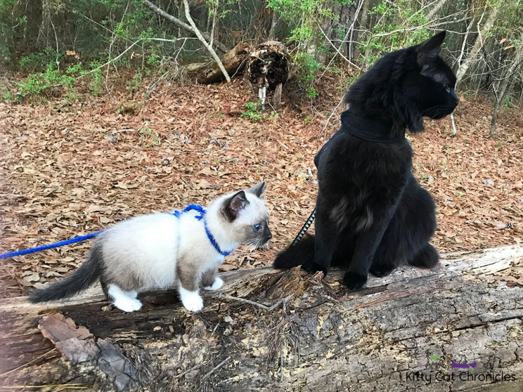 Gryphon and Kylo on Pig Trail