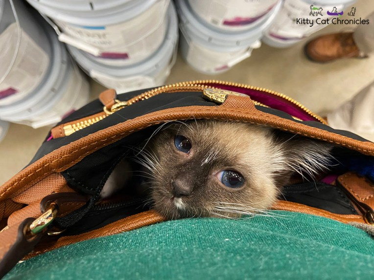 Gryphon the Kitten napping in my purse