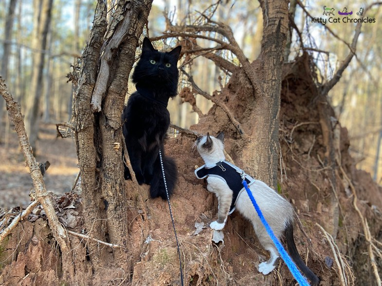 Piedmont National Wildlife Refuge with Kylo Ren & Gryphon - two cats on tree