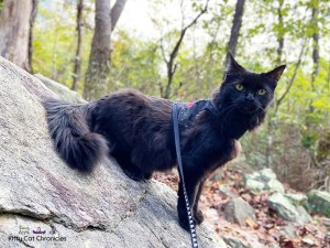 Kylo Ren's First Camping Trip - Cat on a rock in FDR State Park