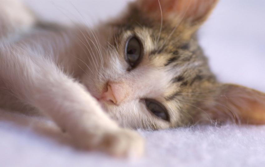 Penyakit Distemper pada Kucing
