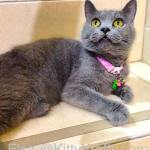 Elsa, kucing Kelik British Shorthair