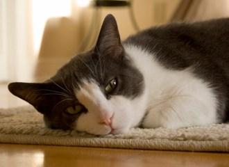 diare pada kucing