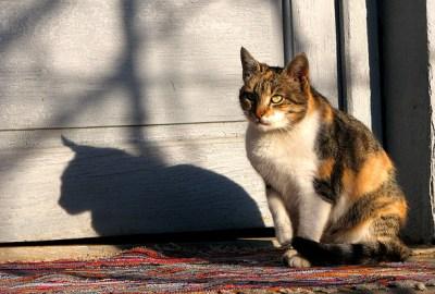 Perilaku Spraying Pada Kucing