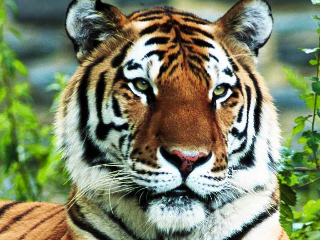 tiger-regal_1024x768.jpg