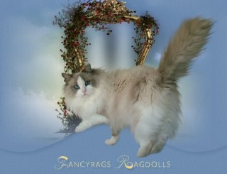 Fancyrags Ragdolls