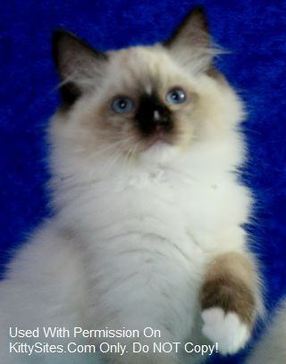 USA Ragdoll Kittens