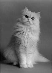 Domestic Cat Breeds: Persian