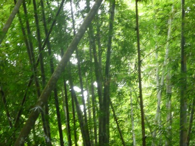 Dense with bamboo