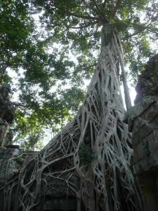 Roots weaving through temple ruins