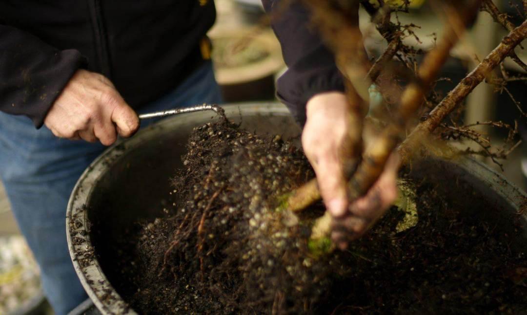 distaccamento radici - bonsai