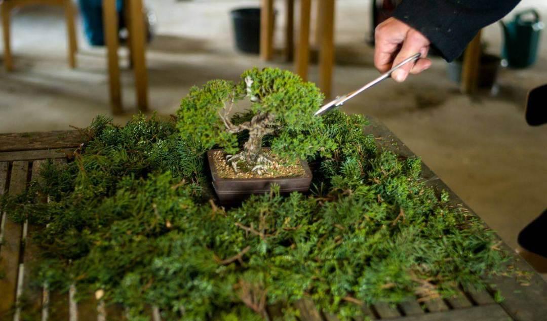 potatura-ginepro-bonsai