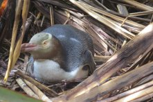 Yellow-eyed penguin v hnízdě