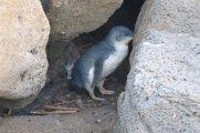 V Melbourne mají taky tučňáky